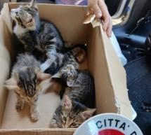 La Polizia municipale recupera 4 cuccioli di gatto abbandonati in una scatola