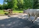 Vigili come cowboys, liberano la carreggiata da 14 mucche uscite dal recinto